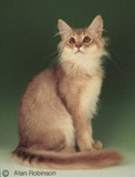 The Somali Cat Breed