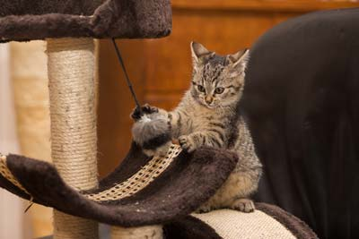 Small striped kitten playing with kitten toy standing on cat tree.