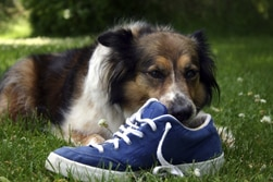 Dog and shoe