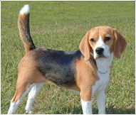 The Beagle Dog Breed