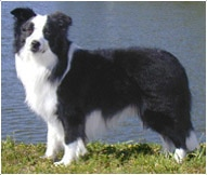The Border Collie Dog Breed
